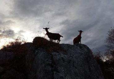Chèvres Elevage Vente Agneau Ferme pédagogique Gaec du Caire Chaillolet St Michel de Chaillol Champsaur Valgaudemar Hautes Alpes