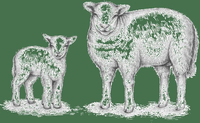 Moutons Elevage et Vente Agneau Ferme pédagogique Gaec du Caire Chaillolet St Michel de Chaillol Champsaur Valgaudemar Hautes Alpes