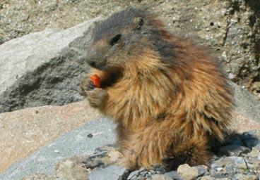 Marmotte Vente Agneau Ferme pédagogique Gaec du Caire Chaillolet St Michel de Chaillol Champsaur Valgaudemar Hautes Alpes